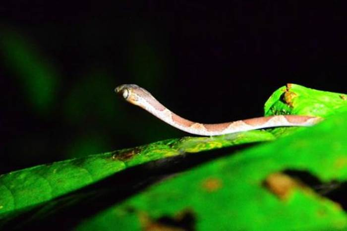 Drake Bay Night Frog Tour 9