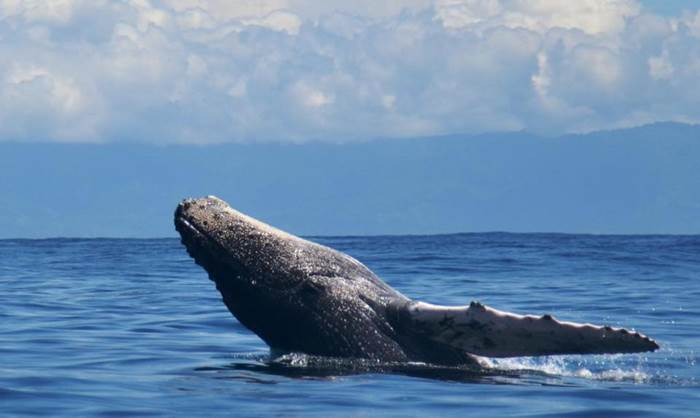 Whales & Dolphins Watching Drake Bay Costa Rica